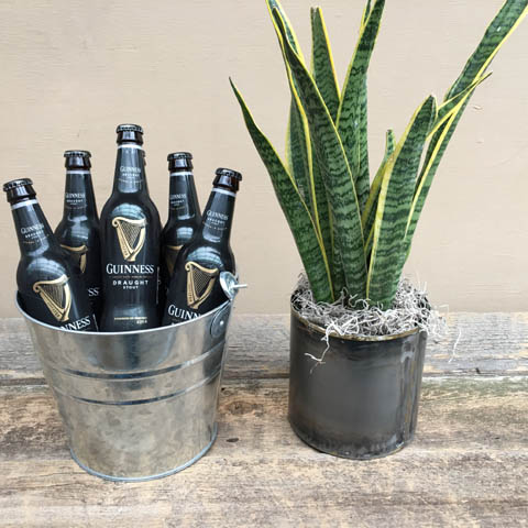 Sansevieria and Guinness Beer