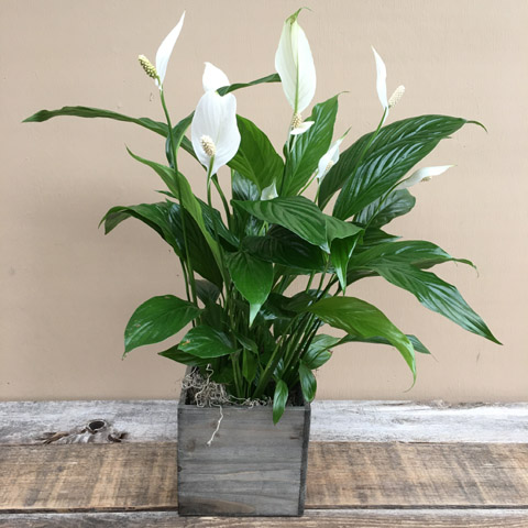 Woodland Peace Lily