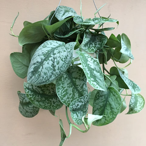 Hanging Pothos - Click Image to Close